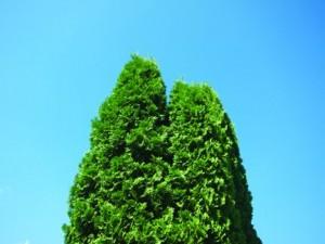 1328727406_06_tree tops_1016